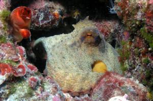 Oktopus an der Höhle Vrbnik